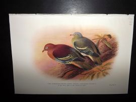 Baker & Gronvold Indian Pigeons & Doves 1913 Cinnamon-Headed Green Pigeon
